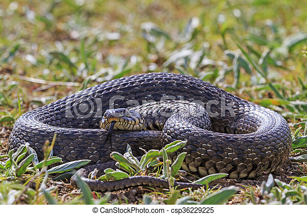 large snake in the grass - csp36229225