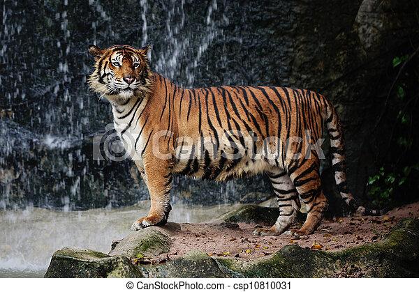 Large striped tiger - csp10810031