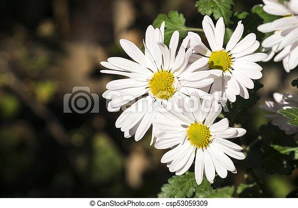 Large white flowers of max chrysanthemum leucanthemum maximum mightylinksfo