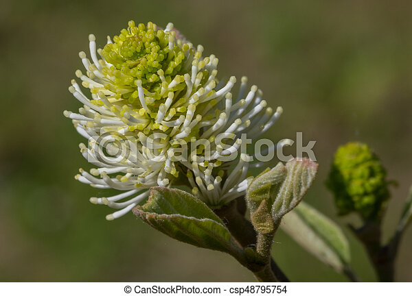 Large witch alder(Fothergilla major) single flower closeup - csp48795754