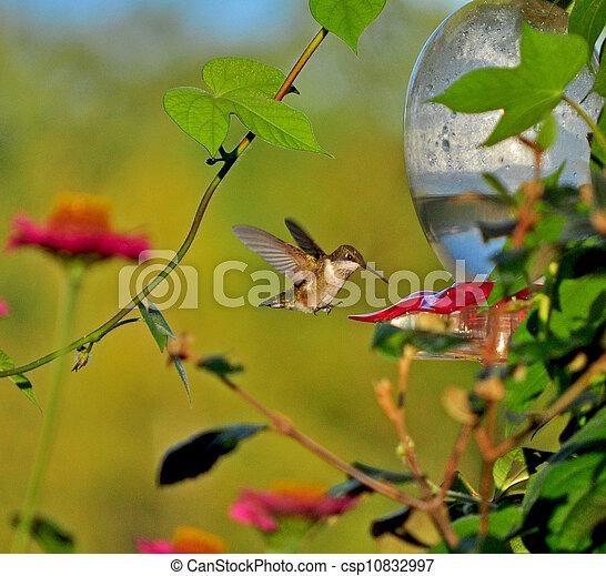 Last of the hummingbirds - csp10832997