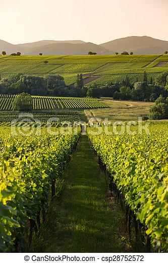 later, luce, vigne, germania, pfalz, pomeriggio - csp28752572