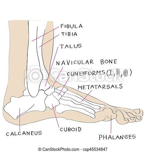 Lateral View Foot Bones Color Hand Drawn Illustration Of The Foot
