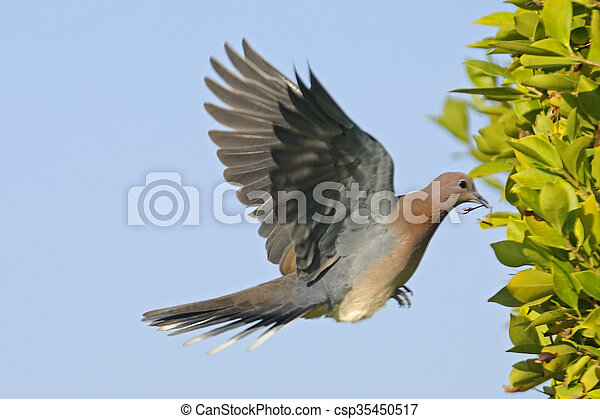 Laughing Dove flying with the building material to the nest - csp35450517