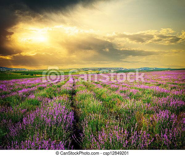 lavender., 牧草地 - csp12849201
