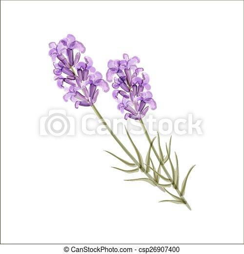 lavender., aromate, vecteur, flower., illustration - csp26907400