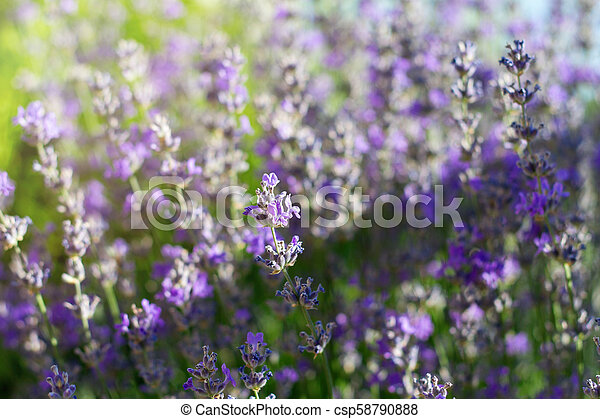 Lavender bushes closeup on sunset. - csp58790888