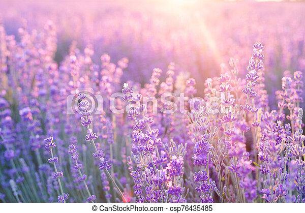 Lavender bushes closeup on sunset. Sunset gleam over purple flowers of lavender. Provence region of france - csp76435485