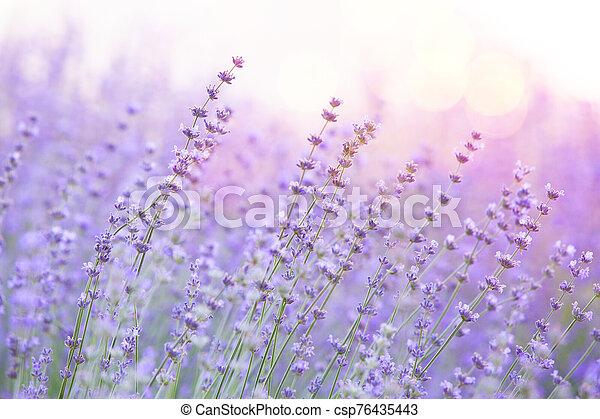 Lavender bushes closeup on sunset. Sunset gleam over purple flowers of lavender. Provence region of france - csp76435443