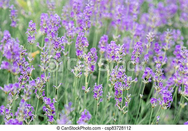 Lavender bushes flower field background. Harvesting of lavender Flowers in lavender fields in Provence region of France. Violet flower lavand Closeup Selective focus - csp83728112