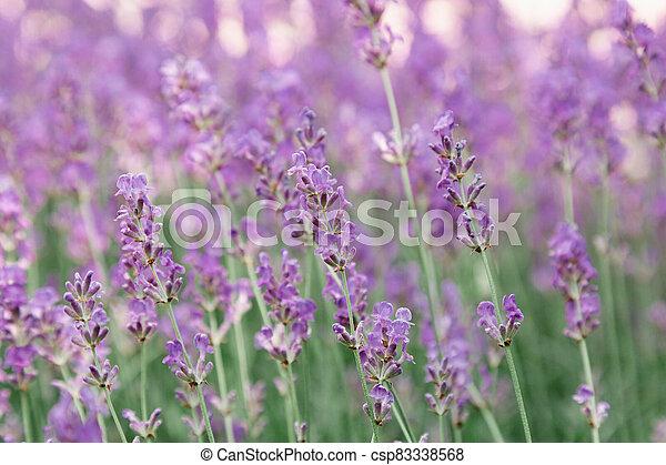Lavender bushes flower field background. Harvesting of lavender Flowers in lavender fields in Provence region of France. Violet flower lavand Closeup Selective focus - csp83338568