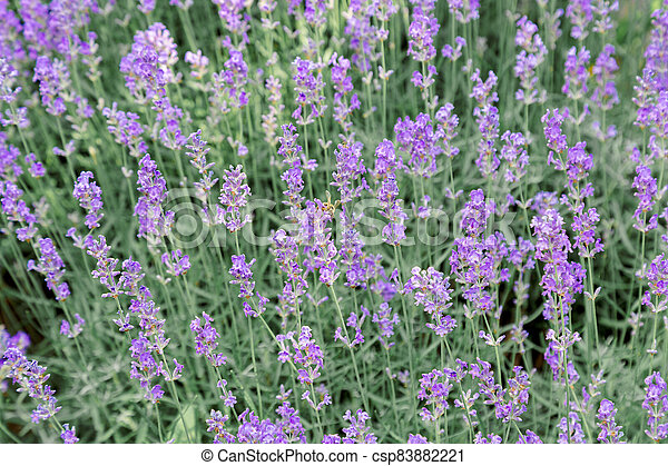 Lavender bushes flower field background. Harvesting of lavender Flowers in lavender fields in Provence region of France. Violet flower lavand with a bee. Closeup Selective focus - csp83882221