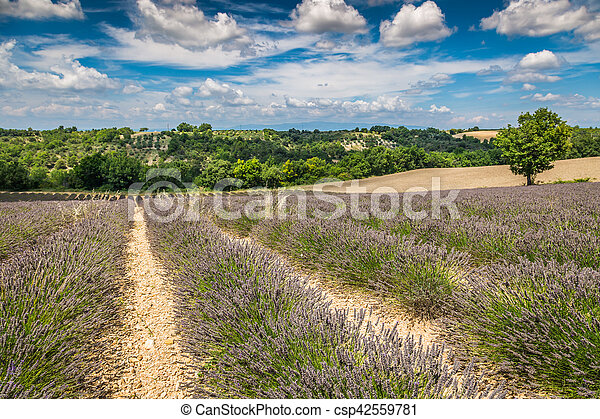Lavender field in the region of Provence, southern France - csp42559781