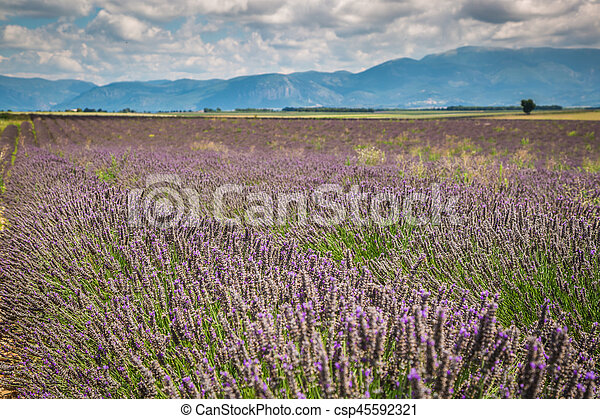 Lavender field in the region of Provence, southern France - csp45592321