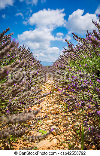 Lavender field in the region of Provence, southern France - csp42558792
