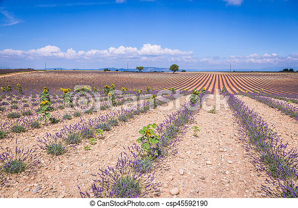Lavender field in the region of Provence, southern France - csp45592190