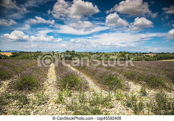 Lavender field in the region of Provence, southern France - csp45592408