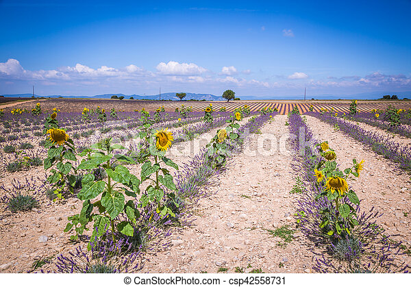 Lavender field in the region of Provence, southern France - csp42558731