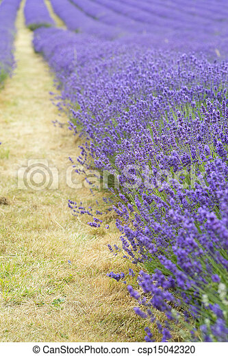 Lavender field landscape with differential focus technique giving shallow depth of field - csp15042320