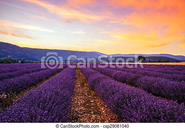 Lavender field summer sunset - csp29081040