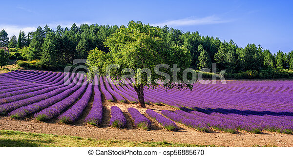 Lavender Field With A Tree In Provence France Blooming Lavender