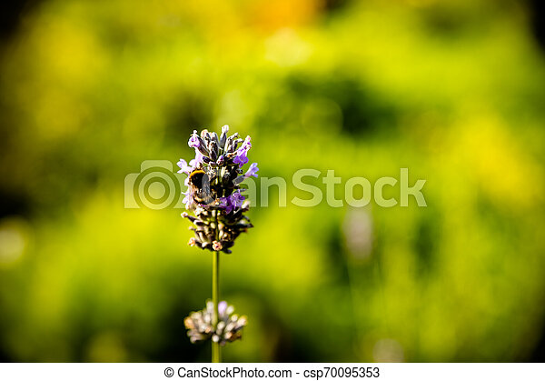 Lavender flower head on Bright green natural background. Lavender bushes closeup on sunset. Sunset gleam over purple flowers of lavender. Provence region of france..Copy space. - csp70095353