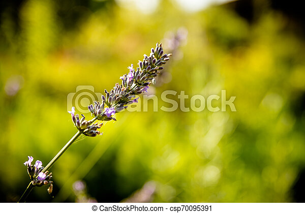 Lavender flower head on Bright green natural background. Lavender bushes closeup on sunset. Sunset gleam over purple flowers of lavender. Provence region of france..Copy space. - csp70095391