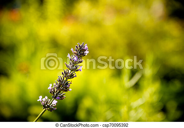 Lavender flower head on Bright green natural background. Lavender bushes closeup on sunset. Sunset gleam over purple flowers of lavender. Provence region of france..Copy space. - csp70095392