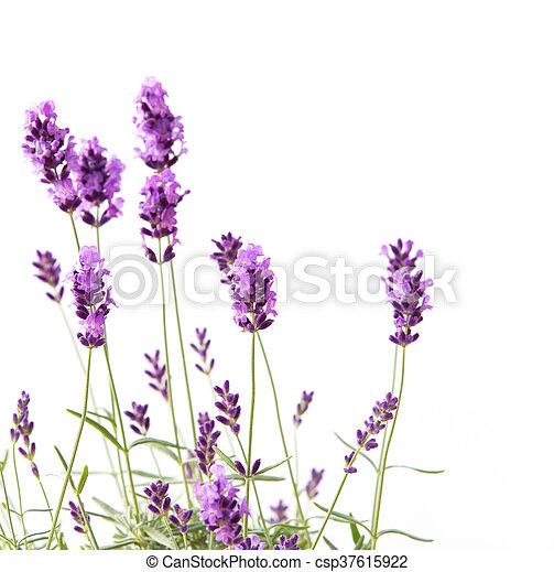 lavender., grupo - csp37615922