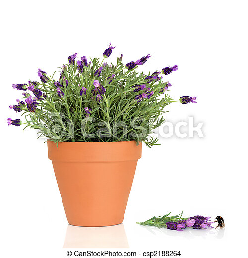 Lavender Herb Flowers and Bumble Bee - csp2188264