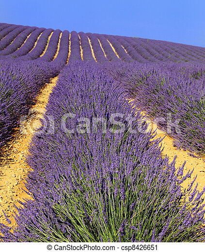 Lavender in the landscape - csp8426651