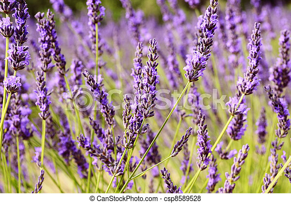 Lavender in the landscape - csp8589528