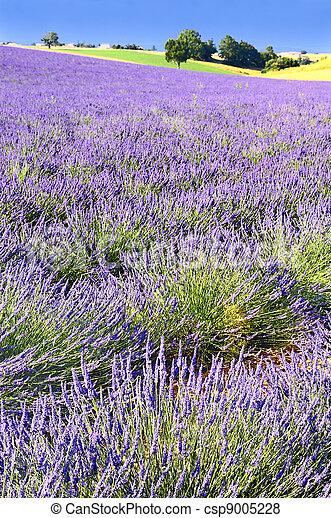 Lavender in the landscape - csp9005228