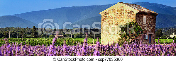 Lavender in the landscape - csp77835360