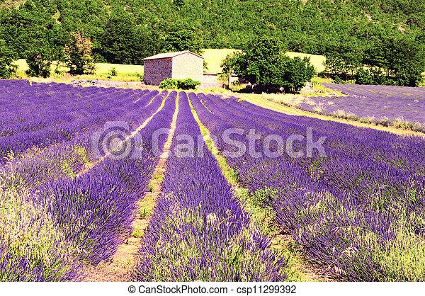 Lavender in the landscape - csp11299392