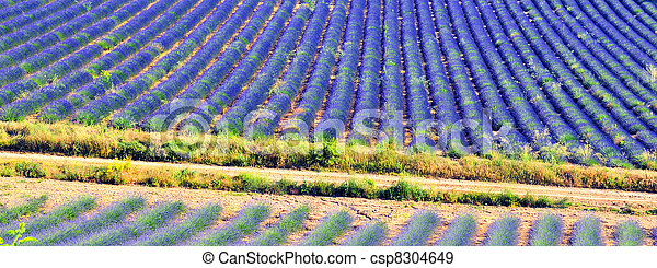 Lavender in the landscape - csp8304649