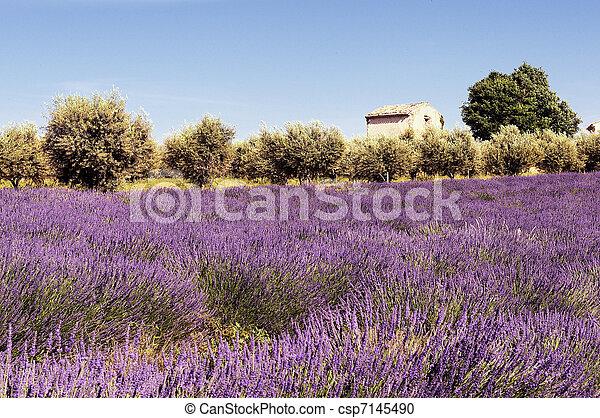 Lavender in the landscape - csp7145490