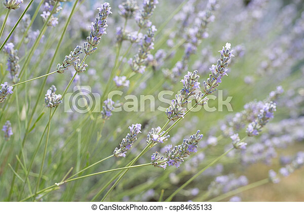 lavender plants with shallow depth of field - csp84635133