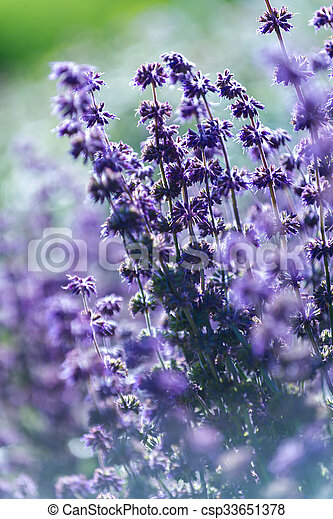 Lavender, shallow depth of field - csp33651378
