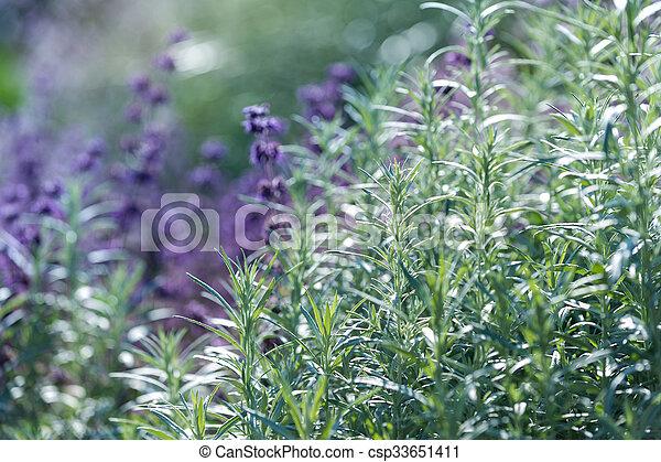 Lavender, shallow depth of field - csp33651411