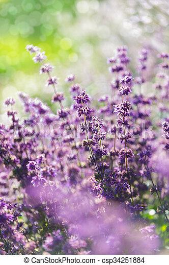 Lavender, shallow depth of field - csp34251884