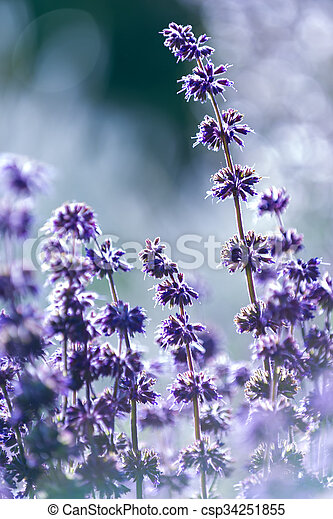 Lavender, shallow depth of field - csp34251855