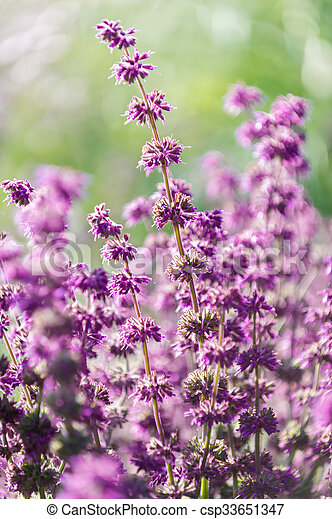 Lavender, shallow depth of field - csp33651347
