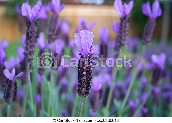Lavender - csp0366613