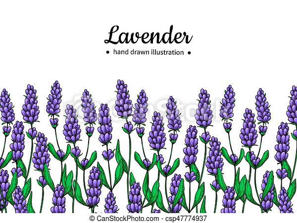 lavender vector drawing border isolated wild flower and vectors rh canstockphoto com lavender clipart black and white lavender clipart flowers