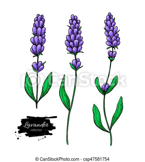 lavender vector drawing set isolated wild flower and clipart rh canstockphoto com lavender clip art border free clipart lavender sprig