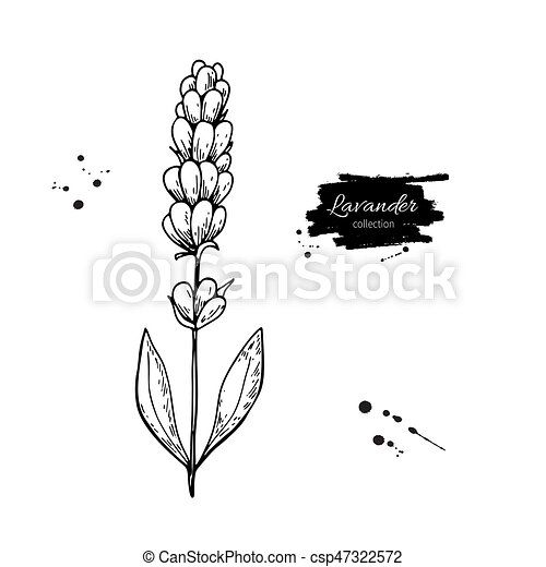 Lavender vector drawing set. Isolated wild flower and leaves. Herbal engraved style illustration. - csp47322572