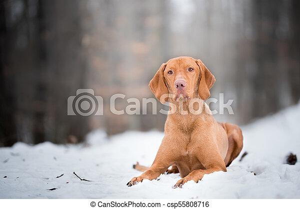 Laying down portrait of vizsla dog on snow - csp55808716