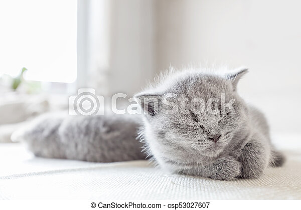 Laying grey cat. British shorthair. - csp53027607