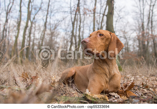 Laying hungarian pointer dog in winter field - csp55333694
